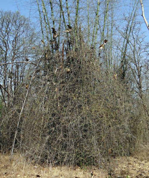 bambusa blumenana,smailas bambukas,tamsus bambukas,bambukas,miškas,Indija