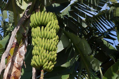 bananai,musa,gentis,bananų augalai,musaceae,užpildas,plantacija,desertinis bananas,egzotiškas,valgyti,maistas,flora,gamta,žalias