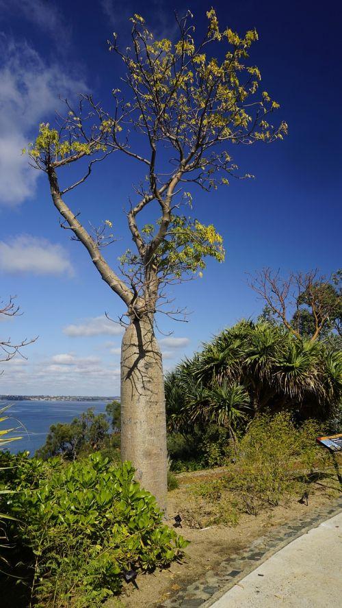 baobabas,medis,botanika,parkas,kraštovaizdis,bagažinė