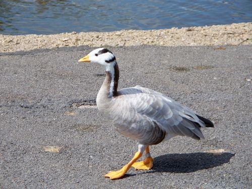 baras vadinamas žąsis,žąsis,anser indicus,pilkai baltos spalvos plunksnos,web pėdos,Iš arti,Azijos žąsis,iš šono,išsamiai,vaikščioti