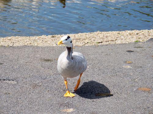 baras vadinamas žąsis,žąsis,anser indicus,pilkai baltos spalvos plunksnos,web pėdos,Iš arti,Azijos žąsis,Vaizdas iš priekio,išsamiai,vaikščioti