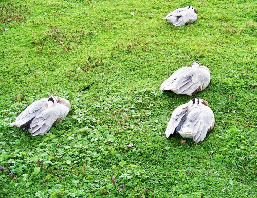 baras vadinamas žąsis,žąsis,anser indicus,pilkai baltos spalvos plunksnos,web pėdos,Azijos žąsis,miega,poilsio,flock