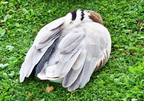 baras vadinamas žąsis,žąsis,anser indicus,pilkai baltos spalvos plunksnos,web pėdos,Azijos žąsis,miega,poilsio,snaudimas,Iš arti,išsamiai