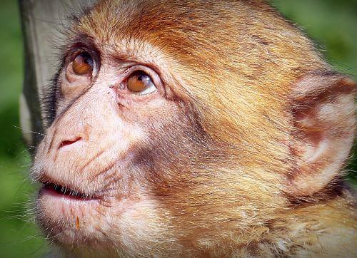 barbary ape,beždžionė,primatas,jaunas gyvūnas,gyvūnas,portretas,gamta,mąstymas,žinduolis,svajingas,sąmoningas,gyvūnų įrašymas,laukinės gamtos fotografija,Uždaryti,ruda,galva,ranka,egzotiškas,padaras,gyvūnų pasaulis,laukinis gyvūnas,suglumęs,supratau išvaizdą,nustebintas,stebisi išvaizda