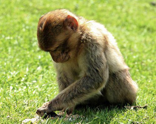 barbary ape,beždžionė,primatas,jaunas gyvūnas,gyvūnas,gamta,mąstymas,žinduolis,svajingas,sąmoningas,gyvūnų įrašymas,laukinės gamtos fotografija,Uždaryti,ruda,egzotiškas,padaras,gyvūnų pasaulis,laukinis gyvūnas,mėgautis saule,mėgautis,mėgautis oru,svajones,fonas