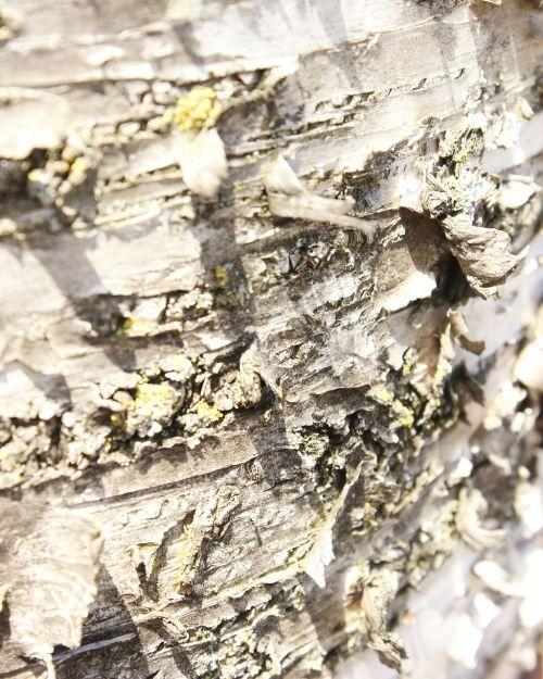 žievė,medis,mediena,bagažinė,makro,tekstūra,pilka,susukti,lupimasis,beržas,grubus,augalas,fonas
