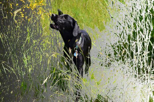 šuo, ėda, žolė, deformacija, filtras, piešimas, Kaip, žūsta žole žole
