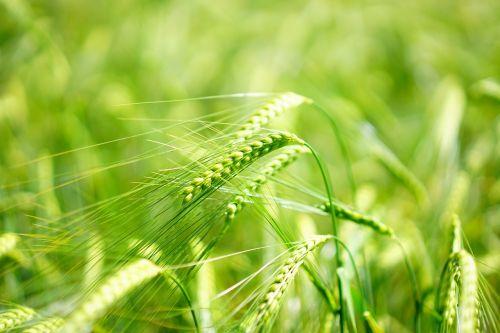 miežiai,jauni pasėliai,žalias,miežių laukas,grūdai,grūdai,javai,kukurūzų laukas,laukas,spiglys,maistingi miežiai,Žemdirbystė,maistas,borstig,pasėlių,pašariniai augalai,miežių pašarus,žydėjimo smaigalys,gėlės,saldymedis,poales,saldymedis,Poaceae,pooideae,triticae,hordeum,vienerių metų žolė