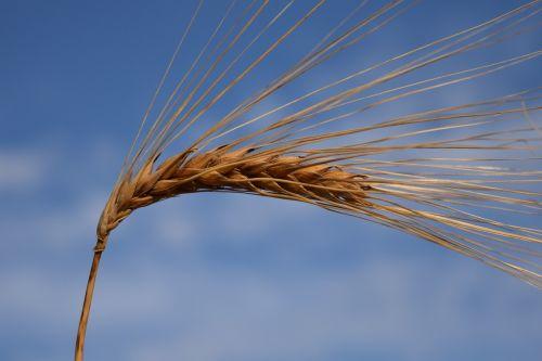 miežiai,ausis,grūdai,gamta,grūdai,Žemdirbystė,maistingi miežiai,mėlynas,dangus,Uždaryti,javai,maistas