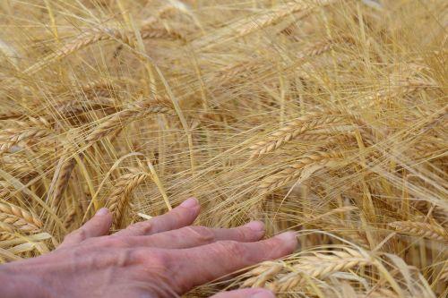 miežiai,miežių laukas,ranka,grūdai,spiglys,Žemdirbystė,laukas,kukurūzų laukas,grūdai,vertingas,gestas,judėjimas