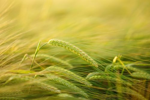 miežiai,getreideanbau,miežių auginimas,grūdai,laukas,spiglys,grūdai,Žemdirbystė,kukurūzų laukas,hordeum vulgare,Hordeum saldymedis,Poaceae getreideart,auginimas,miežių laukas,ausis,pasėlių,gamta,Halme,stiebas,stengel,augalas