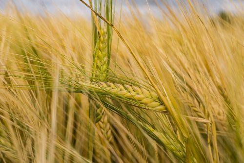 miežiai,ariamasis,grūdai,laukas,rugių laukas,kukurūzų laukas,spiglys,grūdai,Žemdirbystė,kvieciai,augalas,maistas,valgyti,vasara,gamta,derlius,aukso geltona,kraštovaizdis,auksas,nuotaika,grūdų laukai,kaimas