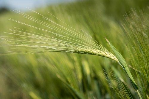 miežiai, grūdai, Žemdirbystė, grūdų, augalų, pobūdį, ausies, Niva, maisto produktas, miežiai srityje, Iš arti, maitinamasis miežiai, kukurūzų stiebai, žalias, ariama, laukai, laukas