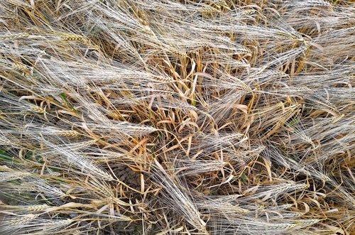 miežiai, miežiai srityje, grūdai, laukas, Niva, ausies, maitinamasis miežių