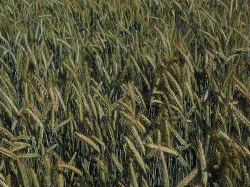 miežiai,miežių laukas,grūdai,laukas,Žemdirbystė,grūdai,ausis,maistingi miežiai,spiglys,javai,hordeum vulgare,saldymedis,Poaceae