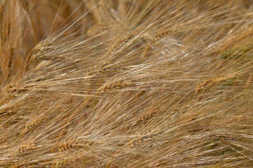 miežių pašarus,grūdai,laukas,miežių laukas,Žemdirbystė