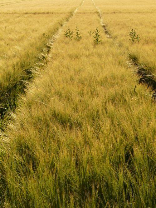 miežių laukas,toli,juostos,traktoriaus keliai,pėdsakai,miežiai,grūdai,grūdai,javai,kukurūzų laukas,laukas,ausis,maistingi miežiai,Žemdirbystė,maistas