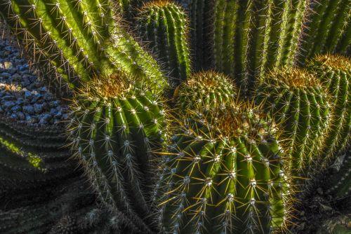 kaktusas, Arizona, dykuma, dygliuotas, barrelio kaktusas
