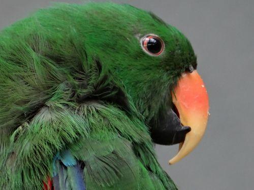 barwinica big,papūga,paukštis spalvingas,spalvos,gyvūnas,žalias,spalvingas,gražus,maitina sėklas,gėlės,vaisiai,lapai