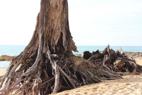 papludimys,medis,smėlis,šaknis,jūra,vanduo,gamta,dangus,nuotaika,žurnalas,platus,vienišas,kelionė,šventė,vandenynas,smėlio paplūdimys vienišas paplūdimys
