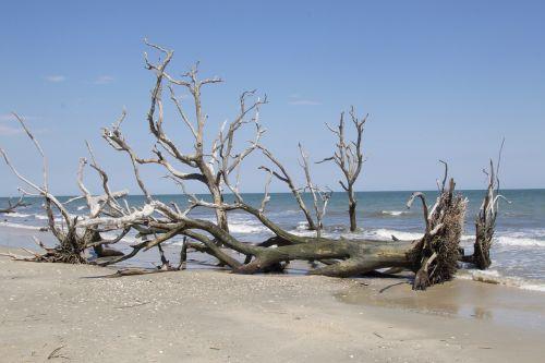 papludimys,Edisto,į pietus,karolina,druska,medis,kranto,vienas,miręs,driftwood,sala,vanduo,vandenynas,gamta,kraštovaizdis,pakrantės