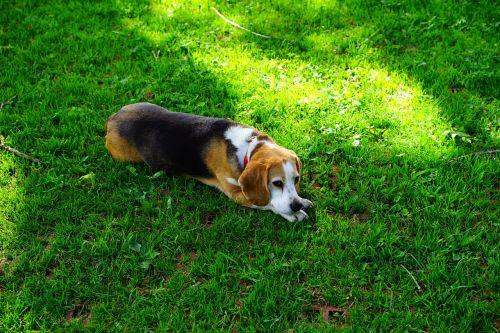 beagle,šuo,šuo veido,medžioklės šuo,vidaus šuo,grynaveislis šuo,šunų veislė,pakuotės šuo,supakuoti gyvūną,naminis gyvūnėlis,budrus,gyvūnas,dėmesio,poilsis,rūpestis,šuo išvaizdą