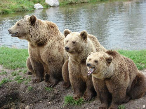 turėti,gamtos parkas,denmark,rudas lokys,zoologijos sodas,laukinio gyvenimo parkas