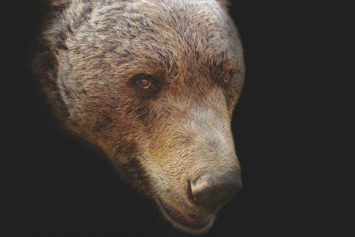 turėti,padėkite galvą,meno,portretas,galva,gyvūnas,gamta,juoda,žinduolis,laukiniai,meno kūriniai,grizzly,didelis,nuotrauka,ruda,laukinė gamta