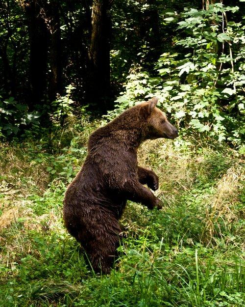 turėti, rudas lokys, rudi, pobūdį, Gyvūnijos pasaulyje, kailiai, laukinis gyvūnas, Furry, Predator, pavojinga, gyvūnas, žinduolis, miškas, laukinis
