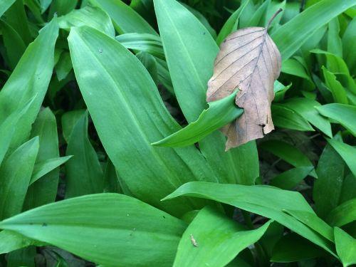 lokio česnakai,laukiniai česnakai,Allium,laukinės daržovės,jauni lapai,augti augti