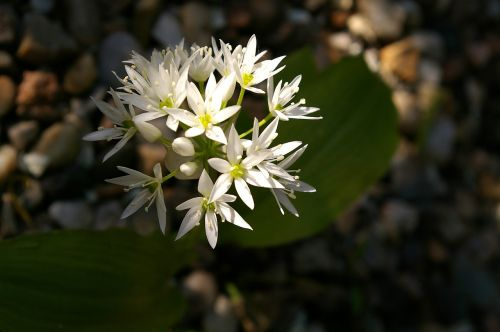 lokio česnakai,žolelės,žydėti,gėlės,gamta,laukinės daržovės,valgomieji,laukinis augalas,augalas,maistas,miško augalas,Uždaryti,balta,vaistinis augalas,flora,sodas,tuti,virėjas,baltos gėlės,žiedlapiai,gražus,pavasaris,balta gėlė