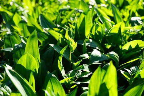 lokio česnakai,lapai,Allium ursinum,česnakai,jauni laukinių česnakų lapai,giersch,aegopodium podagraria,jauni lapai,frisch,žalias,miškas,Allium,laukinės daržovės,česnako špinatai,laukiniai česnakai,medžio česnakai,ragana svogūnas,čigonų pavasaris,ramsen,Waldherre,augti augti,augalas,pavasaris,pavasario pranašys