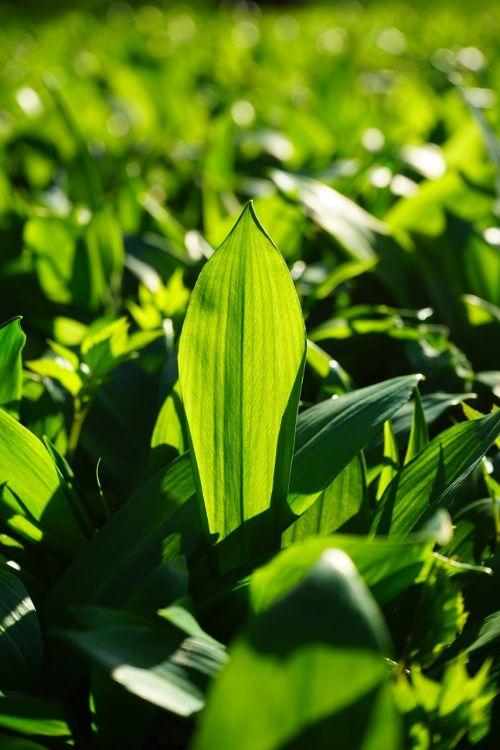 lokio česnakai,lapai,Allium ursinum,česnakai,jauni laukinių česnakų lapai,jauni lapai,frisch,žalias,miškas,Allium,laukinės daržovės,česnako špinatai,laukiniai česnakai,medžio česnakai,ragana svogūnas,čigonų pavasaris,ramsen,Waldherre,augti augti,augalas,pavasaris,pavasario pranašys