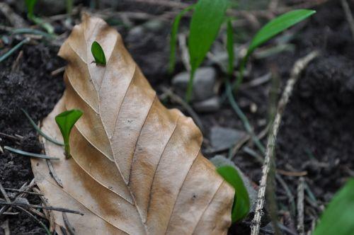 lokio česnakai,pavasaris,vaistinis augalas,medžio česnakai,miškas,augalas,laukiniai česnakai,valgomieji,skonis,frisch,jauni lapai,augti augti,pavasario pranašys,jauni laukinių česnakų lapai,gamta