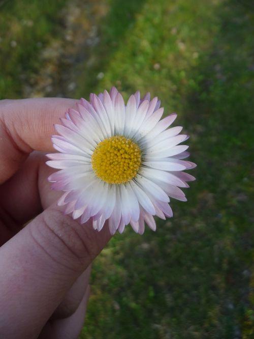 gėlė,gamta,augalai,pavasaris,Daisy,bila,augalas