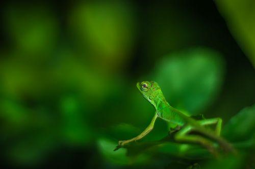 gražus,žalias,iguana,driežas,makro,makro nuotrauka,makrofotografija,gamta,gamtos fotografija,tapetai