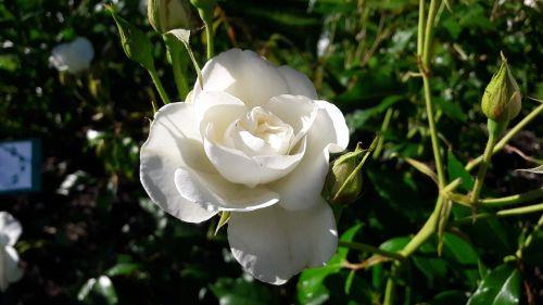 gražus,balta,ros,Balta rožė,balta gėlė,graži rožė,graži gėlė,gėlė,Švedija,pumpurai,budas,gėlės,vasara,vasaros gėlės,balti žiedlapiai,lapija,vasaros gėlė,žydėjimas,augalas,sodas,žalias,lapai,augalai,žaluma