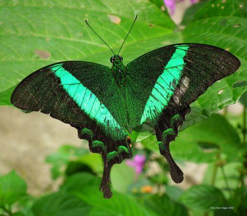 smaragdas & nbsp, lazdelė, smaragdas & nbsp, povas, žalia juosta & nbsp, povas, Filipinai, drugelis, gražus drugelis