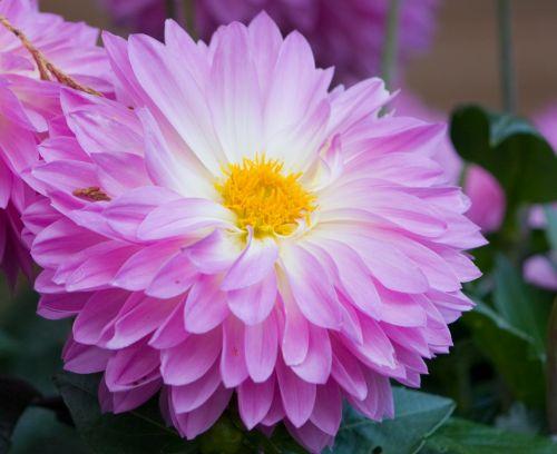 gėlė, dahlia, levanda, rožinis, gražus, Iš arti, gėlių, gamta, graži, žiedlapiai, subtilus, graži gėlė