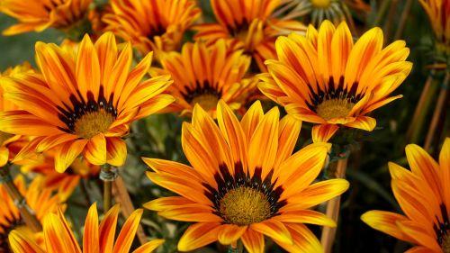 gražios gėlės,gėlių lova,gėlių puokštė,gėlių puokštės,gėlių sritis,flora,gėlių,gėlė,gėlių laukas,gėlių sodas,sodas,sodininkystė,Namai ir sodas,oranžinė,oranžinės žiedlapiai,žiedlapiai,saulėgrąžos,saulėgrąžų laukas