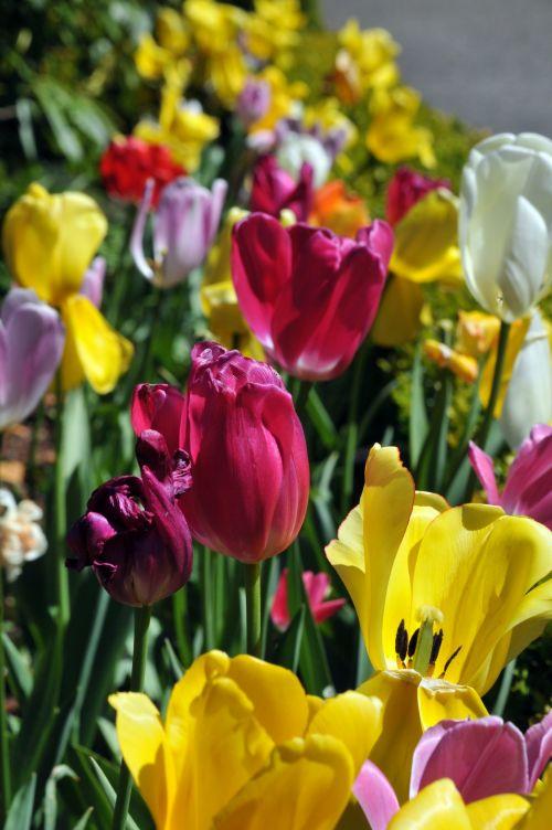 tulpės, tulpė, gėlė, gėlės, gėlių, sodas, lova tulpių