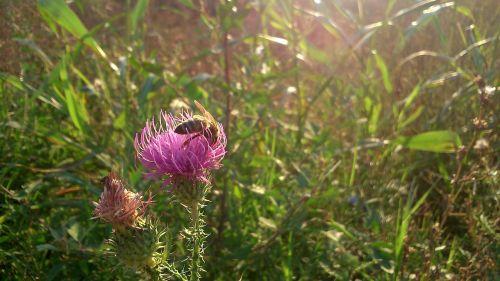 bičių,gėlė,vabzdys,medus,sodas,žiedadulkės,gamta,makro,pavasaris,vasara,nektaras,klaida,augalas,flora,violetinė