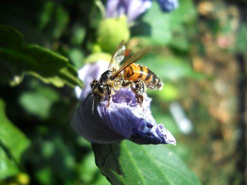 bičių,žiedadulkės,insekta,gamta,gėlė,sodas,mov,laukas,žalias,pavasaris,vabzdys,šviesa,polennizare,maistas,žiedlapiai,nektaras