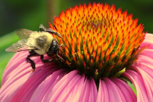 bičių,bičių ir gėlių,žiedadulkės,makro,išplistų,kamanė,Buzz