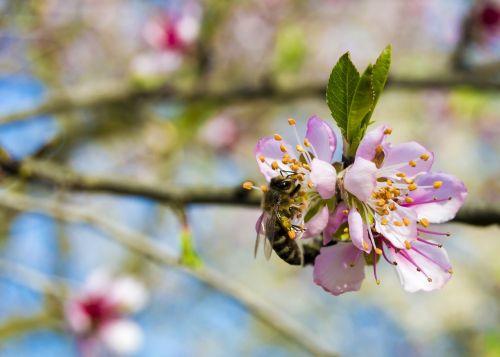 bičių,pavasaris,vyšnia,gėlė,saulėtas,žiedadulkės,vasara,išplistų,natūralus,spalva,gamta,flora,rinkimas,žydi,sodas