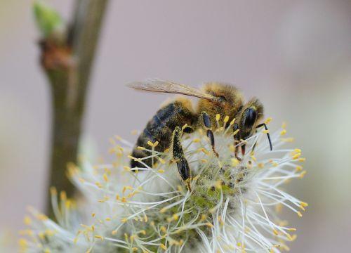bičių,vabzdys,pavasaris,rinkti žiedadulkes,Uždaryti,žiedadulkės,apdulkinimas,medus