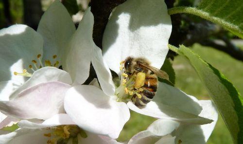 bičių,žiedadulkės,kojos,Obuolių medis,obuolys,žiedas,žydėti,pavasaris,apdulkinimas,nektaras,vabzdys,Uždaryti,rinkti žiedadulkes,gėlė,gamta,surinkti,medaus BITĖ,pabarstyti