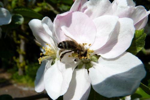 bičių,žiedadulkės,surinkti,žiedas,žydėti,pavasaris,apdulkinimas,nektaras,vabzdys,Uždaryti,medaus BITĖ,pabarstyti,obuolys,Obuolių medis