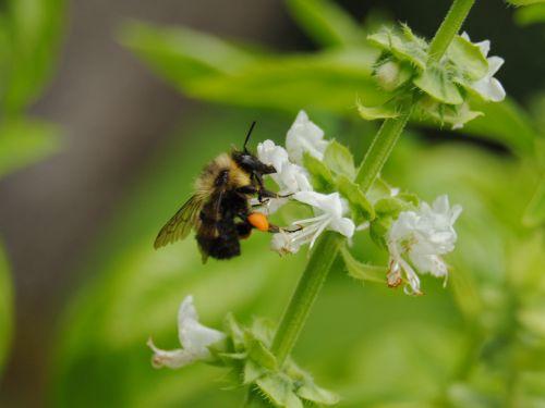 bičių, bitės, kamanė, vabzdys, gamta, gėlė, vasara, sezonas, žiedadulkės, medus, bičių