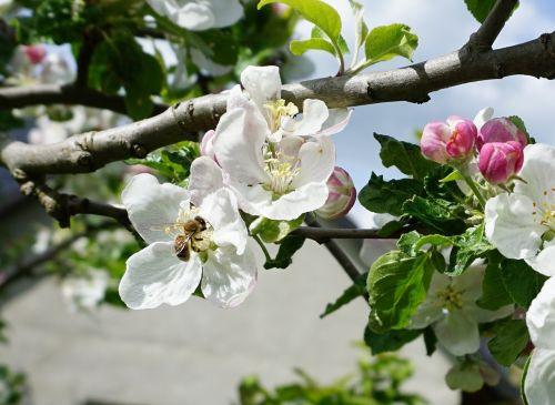 bičių,obuolių žiedas,žiedas,žydėti,apdulkinimas,balta,obelų žiedas,medaus BITĖ